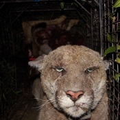 """P22, a 4-year-old male mountain lion known as the """"Hollywood Lion,"""" is  known to traverse the hills in and around Los Angeles. He is seen here recaptured by the National Park Service in March after being exposed to rat poison."""