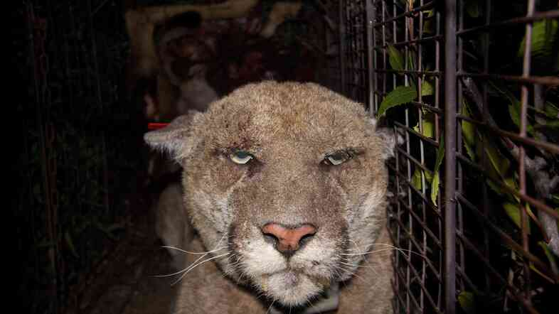 "P22, a 4-year-old male mountain lion known as the ""Hollywood Lion,"" is  known to traverse the hills in and around Los Angeles. He is seen here recaptured by the National Park Service in March after being exposed to rat poison."