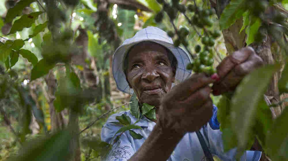 Climate Change Has Coffee Growers In Haiti Seeking Higher Ground