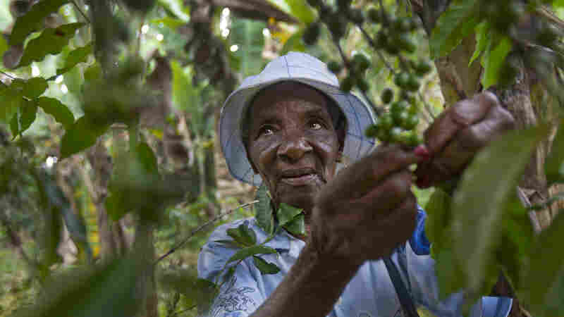 A Haitian woman holds cherries from a coffee tree. Haiti's coffee trade was once a flourishing industry, but it has been crippled by decades of deforestation, political chaos and now, climate change.