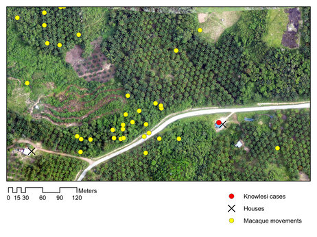 The map above combines drone images with yellow dots that track the movement of macaques as determined by a GPS collar. The red dot indicates a human case of malaria, which can spread from macaques via mosquitoes.