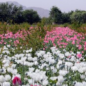 Poppies bloom in a field on the outskirts of Kandahar on April 27, 2014.