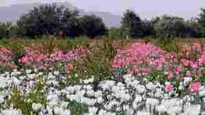 Watchdog: $7 Billion U.S. Effort Doesn't Dent Afghan Poppy Production