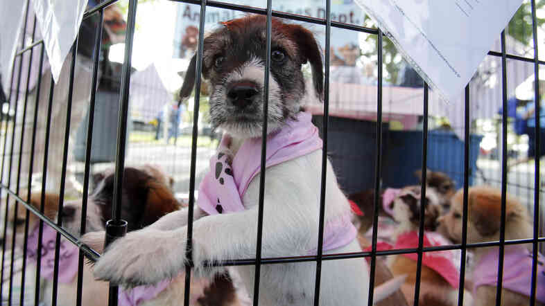 A puppy waits at an adoption event in Miami last year. The city is now considering a ban on the sale of puppies in retail pet stores. Cities and towns in several states have passed similar bans, aimed at cracking down on substandard, large-scale puppy breeders.