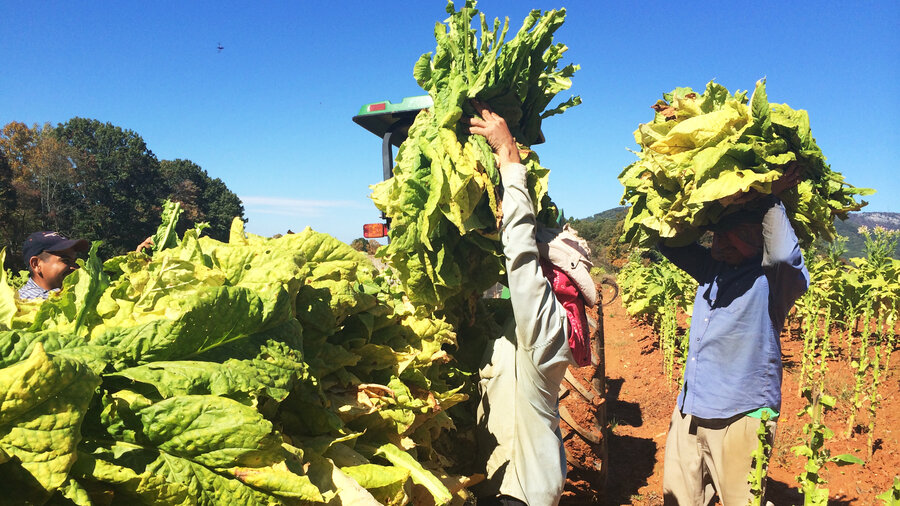 Tobacco farmers lose longtime safety net npr tobacco farmers lose longtime safety net sciox Image collections