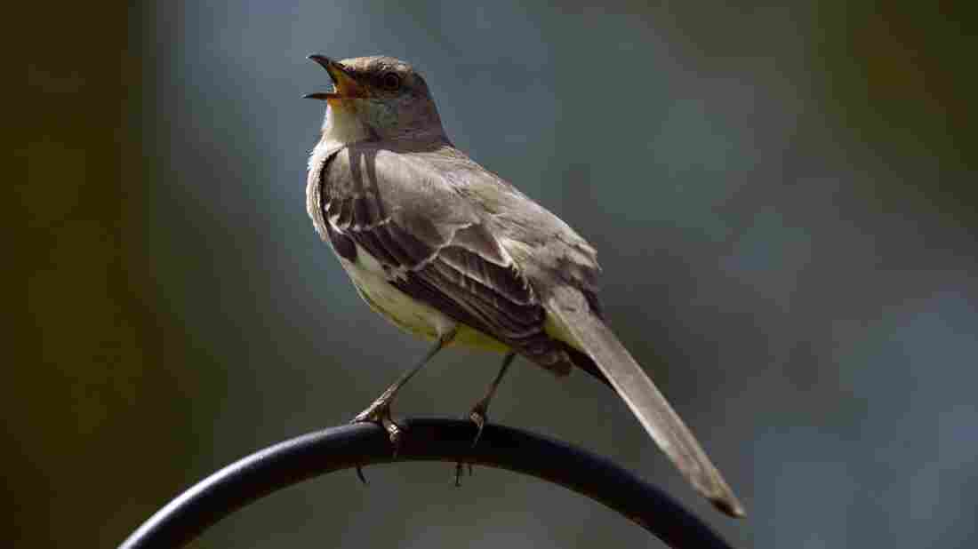 A short phrase New Orleans musicians use to communicate is identical to a common mockingbird call.