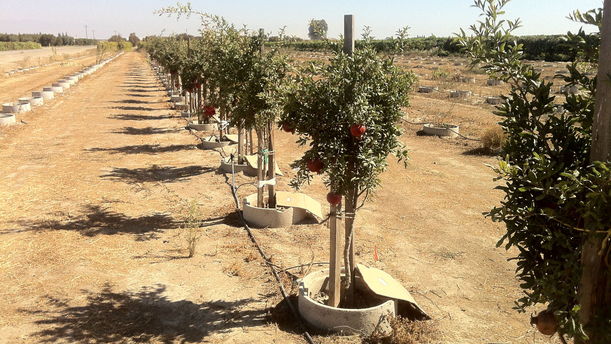 Why California's Drought-Stressed Fruit May Be Better For You