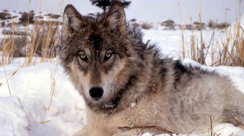 A gray wolf in the wild.