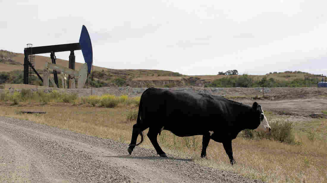 A cow walks near oil pump jacks in Santa Maria, Calif. Oil production has long been a part of Santa Barbara County, but a new ballot measure could effectively shut down all new drilling operations there.