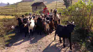 Holy Goats! They're Kind Of A Big Deal In One Nepali Town