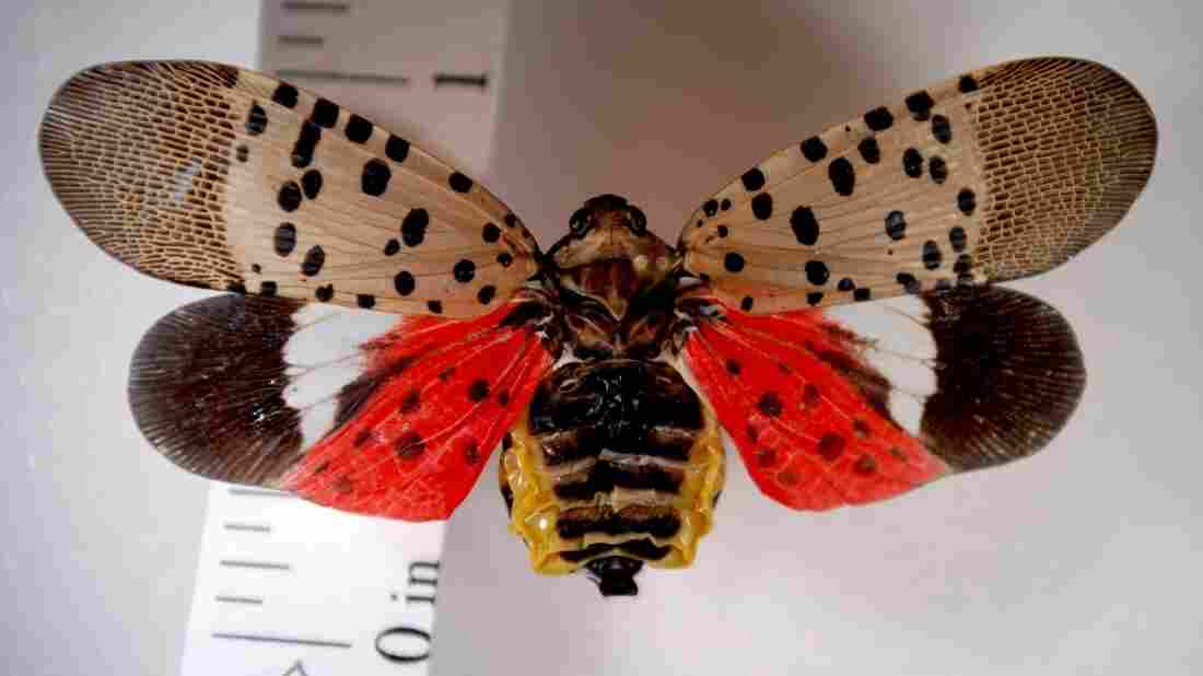 An adult spotted lanternfly is seen, its wings spread to show a colorful hind wing. The invasive pest has sparked a quarantine in Pennsylvania.