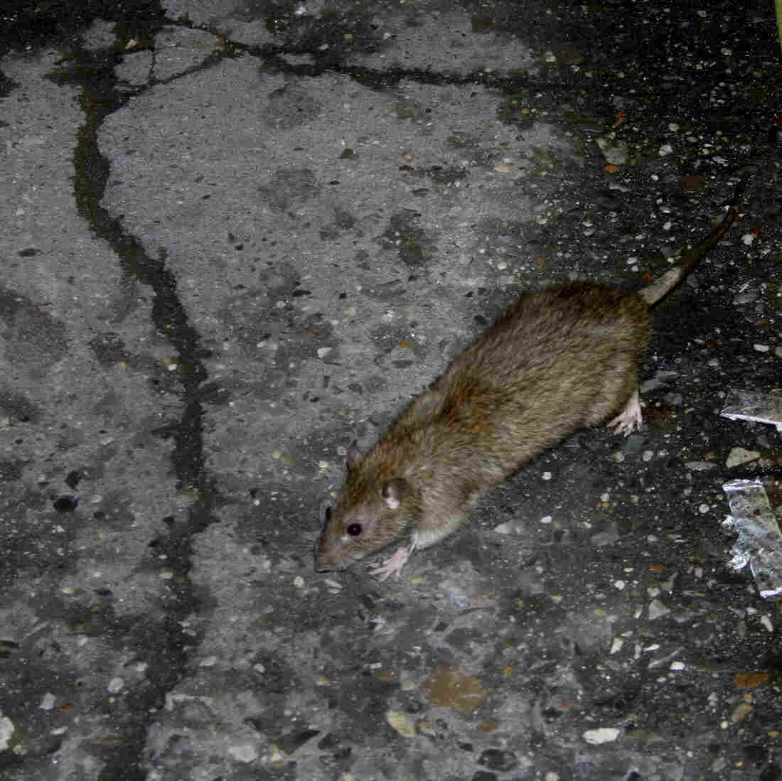 Rats! New York City's Population Might Be Seriously Overestimated
