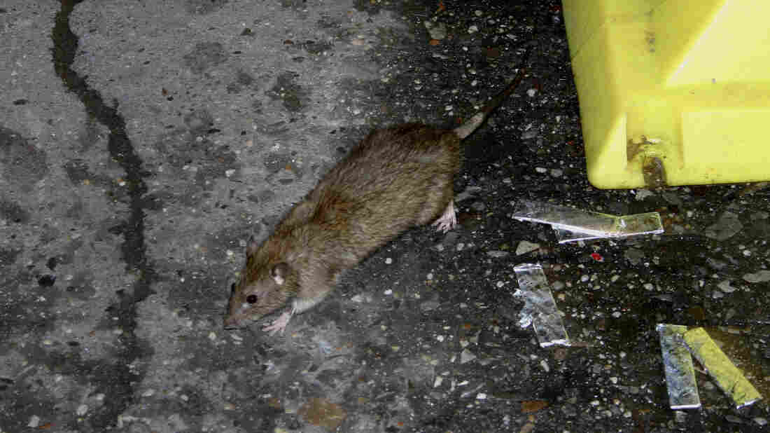 Aside from this little guy, there are 1,999,999 more rats in New York City, according to a new study. That's still significantly less than tales of 8 million.