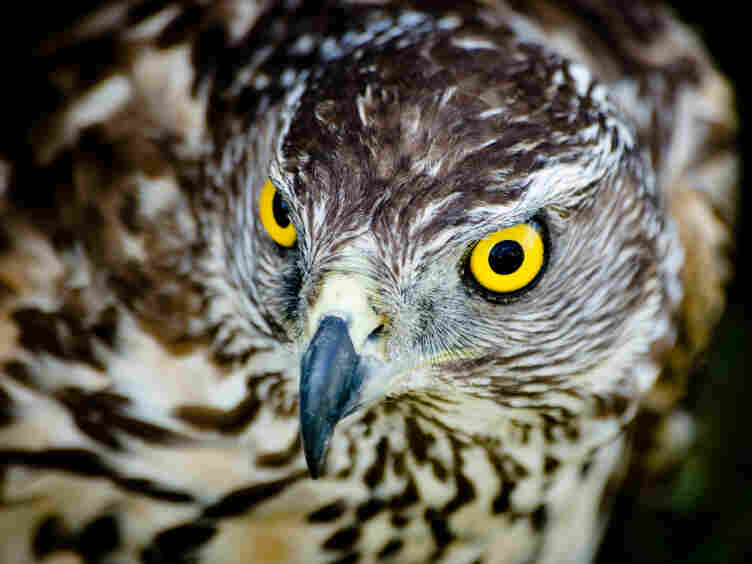 It was Helen Macdonald's relationship with a goshawk like this one that helped her to grapple with the loss of her father.