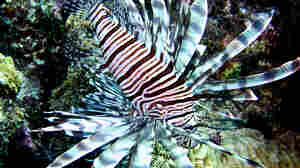 Why Divers In Bonaire Are So Eager To Kill The Beautiful Lionfish