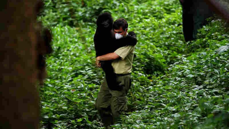 "Chief warden Emmanuel de Merode calls Virunga ""the greatest park on Earth"" for its remarkable diversity, including rare mountain gorillas."