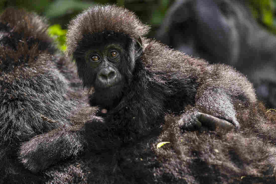 Despite recent gains, Virunga's endangered mountain gorilla population is still under threat from poaching.