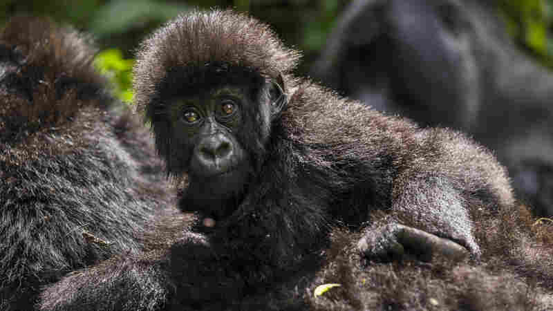 Despite recent gains, Virunga's endangered mountain gorilla population is still under threat from poaching.
