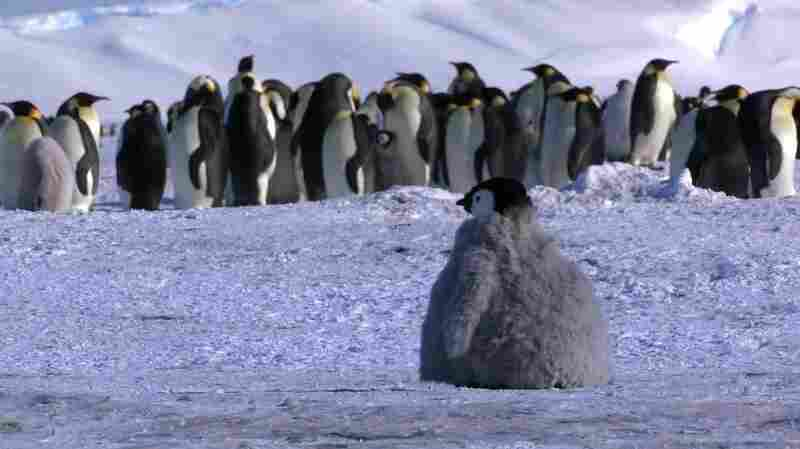 One of these penguins is not like the others — the chick in front is really a rover, designed by filmmakers and used by scientists to gather data.