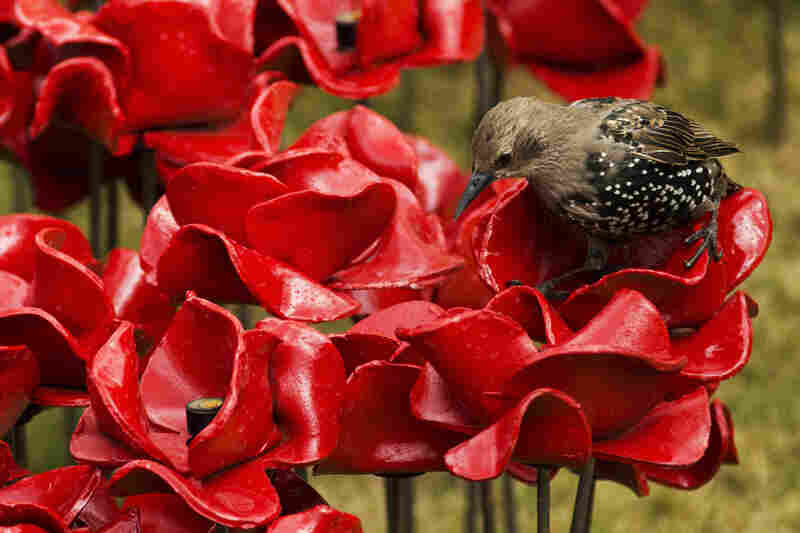 A bird stands on one of the 120,000 poppies planted on Aug. 5.