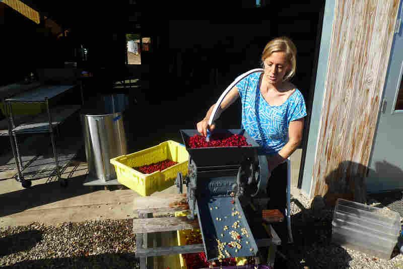 Good Land Organics' Lindsey McManus puts coffee cherries grown in California through the depulper.