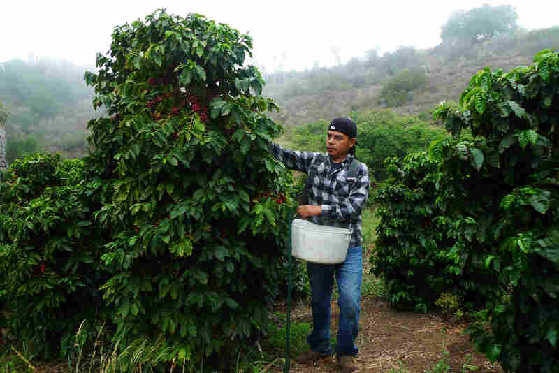 Sammy Venegas leads a crew of workers harvesting coffee at Good Land Organics. He comes from a long line of Oaxacan coffee growers and harvesters.
