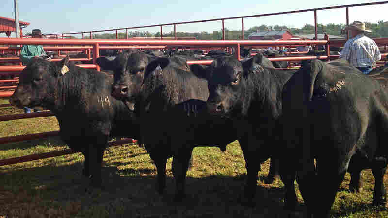Black Angus cattle in pens outside the sale barn at 44 Farms, a 3,000-acre ranch in Cameron, Texas. The cattle were on display for bidders ahead of 44 Farms' fall auction in October.