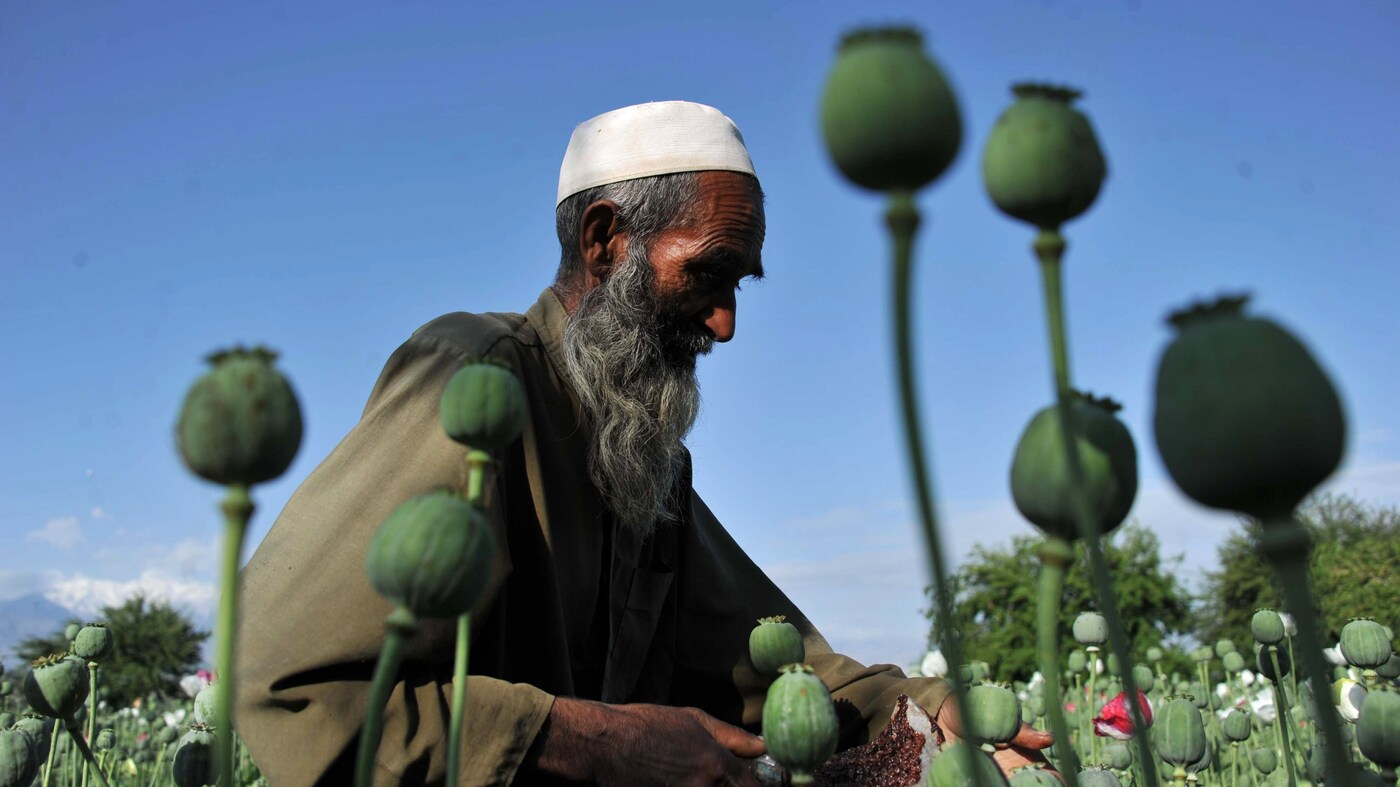 Afghanistan S Opium Harvest Sets New Record The Two Way