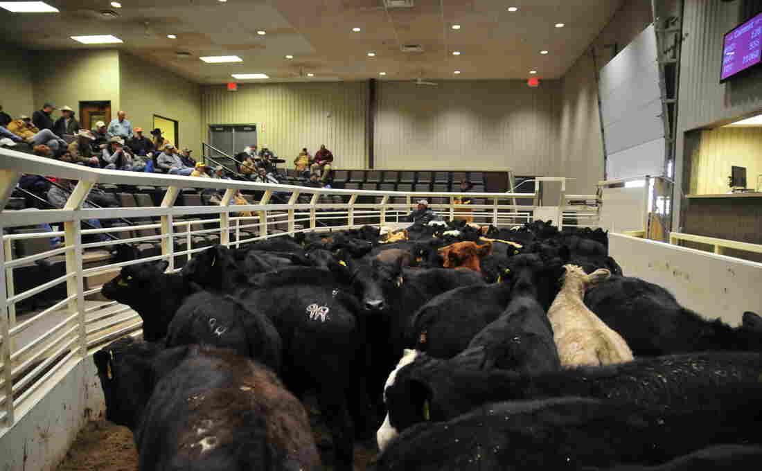 A grouping of cattle in the auction pen are examined by potential buyers at the OKC West Livestock Market in El Reno, Oklahoma.
