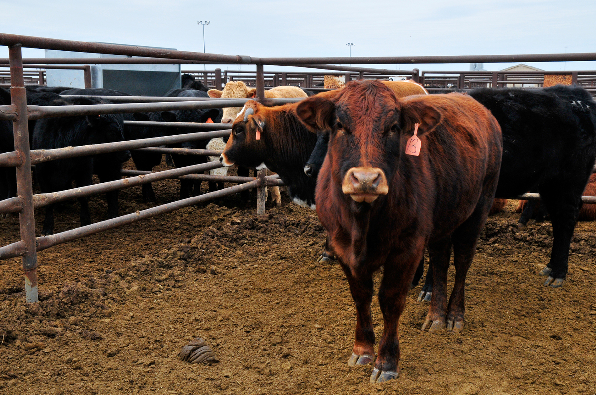 How To Catch A Cattle Thief Planet Money Npr