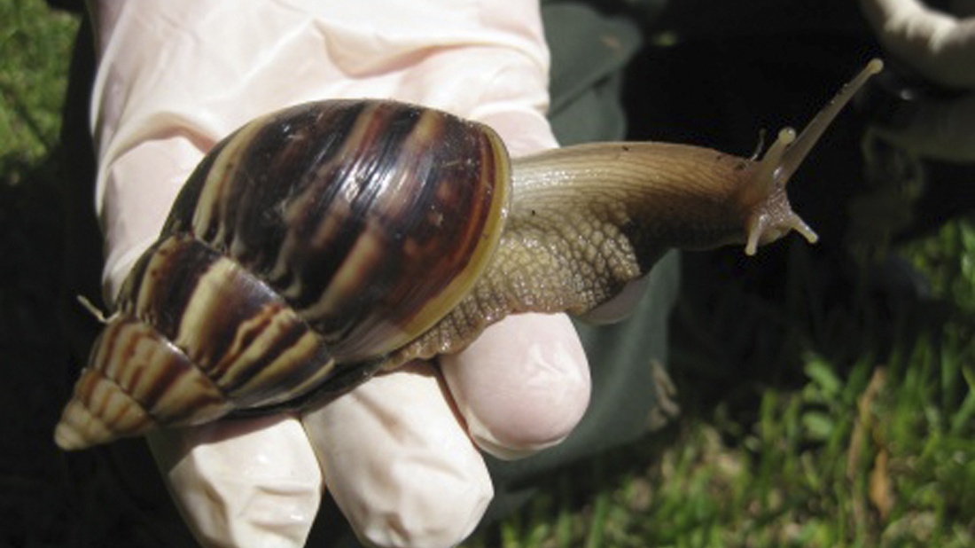 Florida's Hunt For Giant Snails Leads To 'Smelly Easter Eggs'