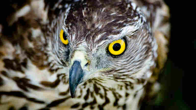 In the Costa-nominated H Is For Hawk, Helen Macdonald recounts how her relationship with a goshawk like this one helped her to grapple with the loss of her father.