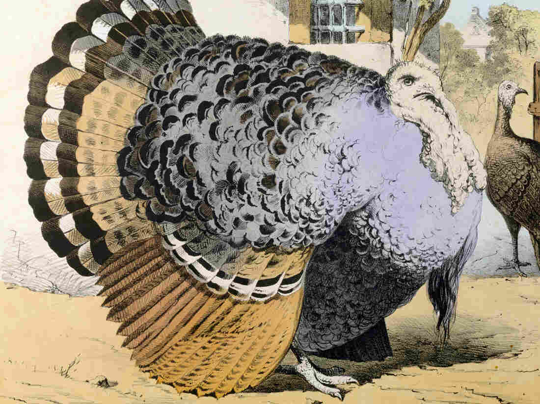 Just imagine if this 19th-century turkey was stuffed with warbler, lark, bunting, thrush, quail, lapwing, plover, partridge, woodcock, teal, guinea fowl, duck, chicken, pheasant, goose, turkey and bustard (an Old World breed of turkey).