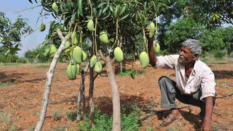 Mango trees would be grateful for the nutrients in human poop.