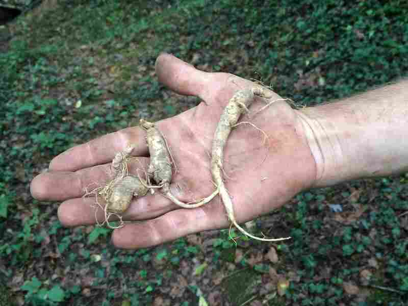 A harvester holds ginseng roots. Wild ginseng roots can bring big profits overseas, especially in Asia, but it is illegal to poach the root from U.S. national parks.