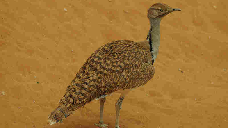 The Houbara bustard migrates in large numbers every winter from Central Asia to Pakistan. Wealthy Arabs go to Pakistan to hunt the bird, but as its numbers decline, some Pakistanis say the practice should stop.