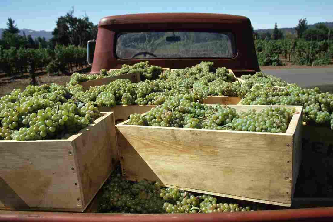 A truckload of chardonnay is ready to deliver to the winery for crushing in this 2006 photo from Anderson Valley, Mendocino County, Calif.