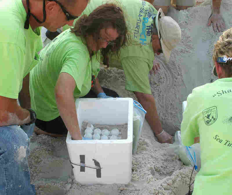 Volunteers in 2010 dug up sea turtle nests on an Alabama beach. They moved the eggs from harm's way as oil from the BP oil spill headed for the Gulf Coast. The nests were relocated to the Atlantic coast of Florida.