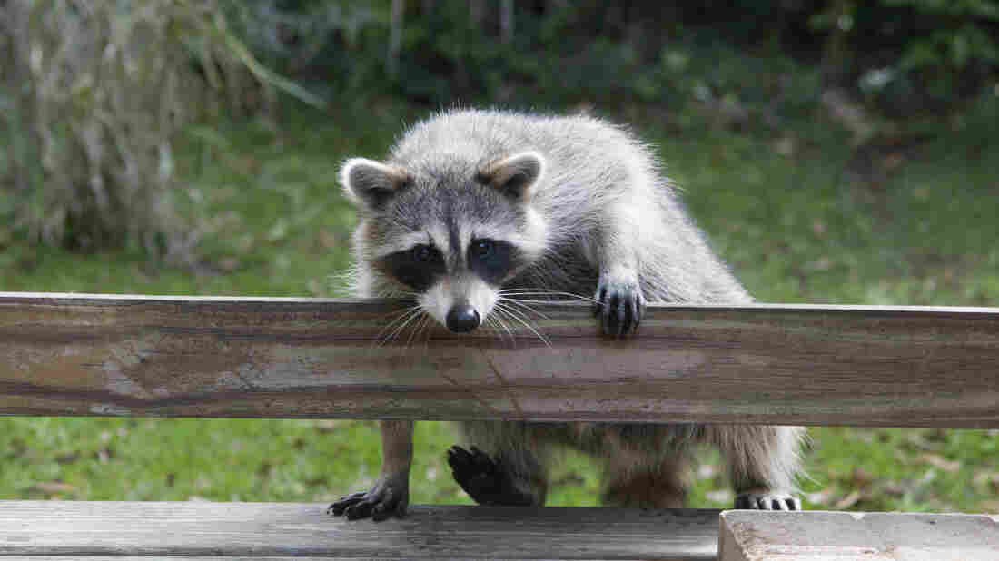 Does this little guy look familiar? Clean up his feces in your yard to avoid infection from his parasites.