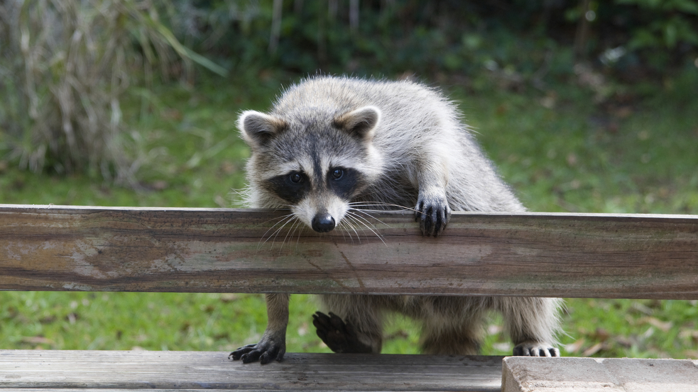 drugged marshmallows can keep urban raccoons from spreading