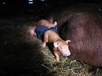 Week-old piglets are staying warm in the old wooden barn at Stillman's farm in Hardwick, Mass.