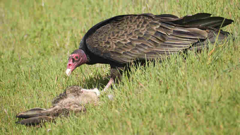 A turkey vulture makes quick work of a dead rabbit at Martin Luther King Jr. Regional Shoreline park in Oakland, Calif.