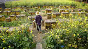 An apiary on the outskirts of Chengdu, China, produces about 440 pounds of honey a day. American honey importers say they suspect the uptick in honey coming from Turkey actually originated in China.