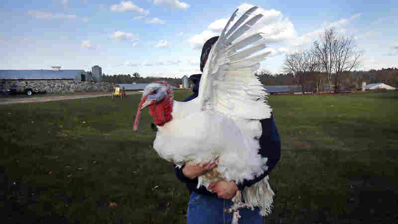 A 40-pound tom turkey flaps his wing as Chris Conley carries him to a pen at Raymond's Turkey Farm in Methuen, Mass., Friday, Nov. 21, 2014. The farm raises approximately 20,000 Broad Breasted White turkeys per year.