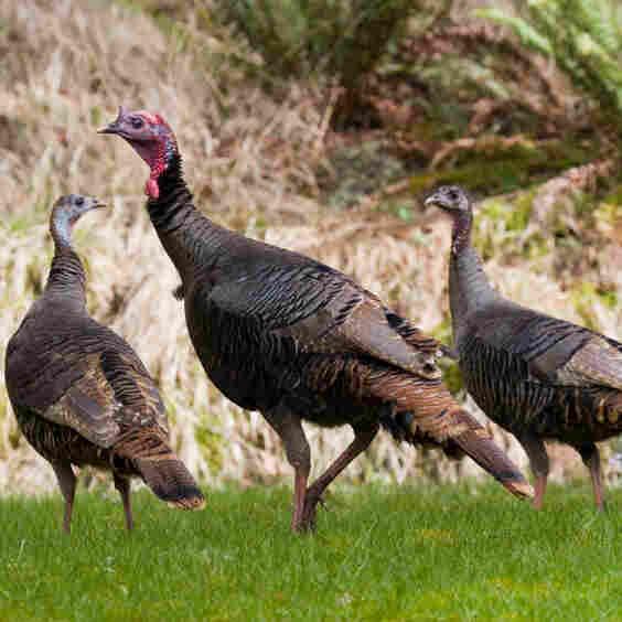 On This Thanksgiving, Celebrating The Wild Turkey