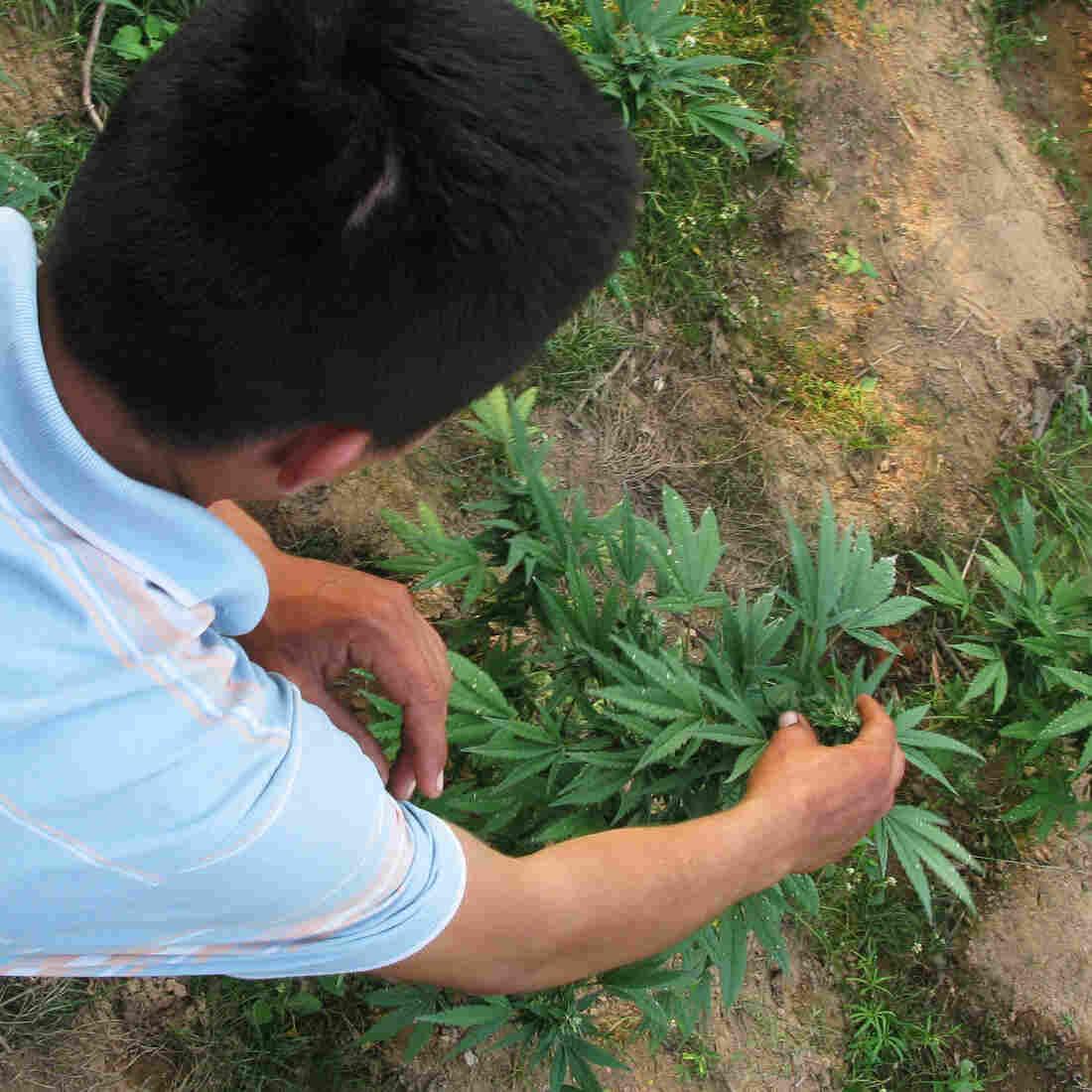 Legal Pot In The U.S. May Be Undercutting Mexican Marijuana