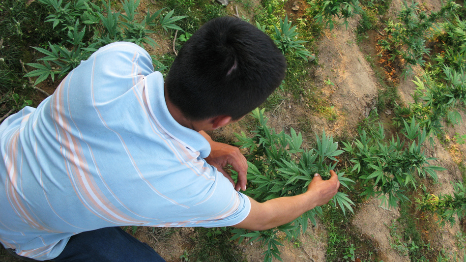 Nabor, a small-scale marijuana grower in the northwestern Mexican state of Sinoloa, checks his plants. As legal pot increasingly becomes available in the U.S., Americans appear to be buying more that is grown domestically. Prices for marijuana from Mexico have fallen sharply. (John Burnett/NPR)