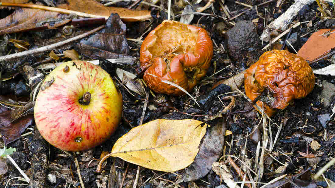 Rotten, fermented fruit has some nutritional value, and may have looked pretty good to our hungry ancient ancestors. Evolving the ability to metabolize the alcohol in fermented fruit may have helped us adapt to a changing climate 10 million years ago, research suggests.