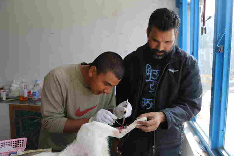 A canine patient with an infected leg wound is treated by one of the center's vets, Dr. Bidur Piya (left), and Dr. Rajeesh Banga, a volunteer from Texas.