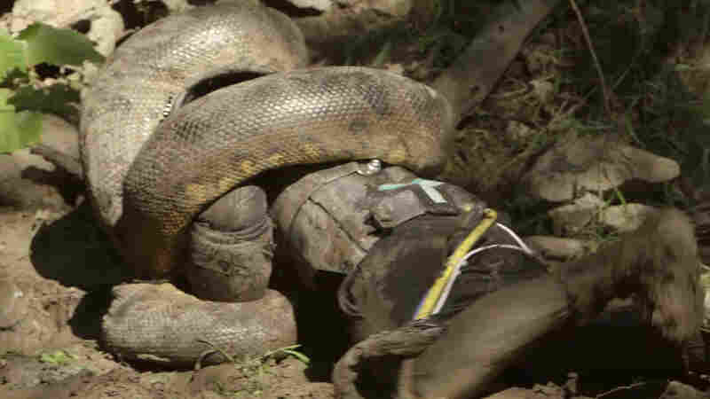 A still image from the Discovery TV special Eaten Alive, which angered some viewers after it aired Sunday.